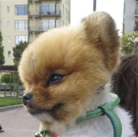 pomeranian like a teddy of the day poof the pomeranian the dogs of san franciscothe dogs of san francisco
