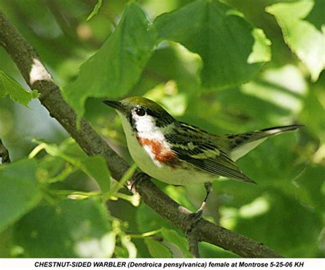 backyard bird identification warblers vireos