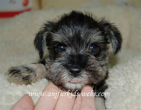 schnauzer puppies for adoption mini schnauzer puppies for sale adoption from selangor
