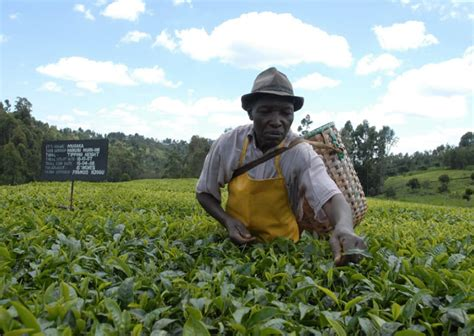 rising kenyan tea coffee export prices  ease drought impact citizentvcoke