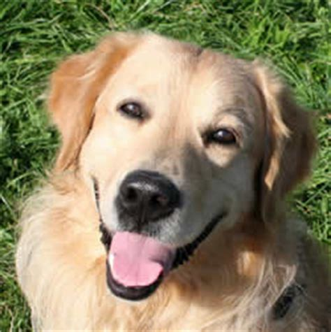 adopt a golden retriever uk buy or adopt family which breed should you choose shoppersbase