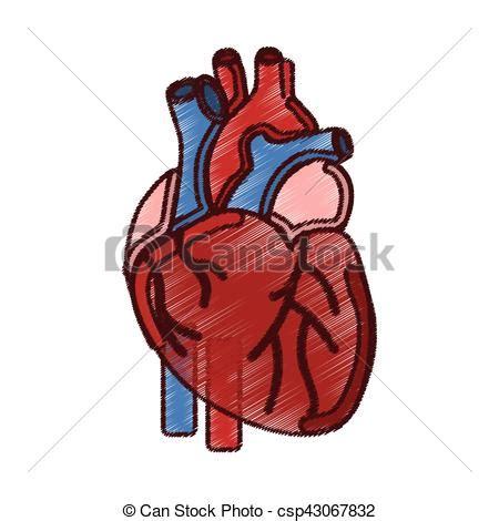 imagenes de corazones organo vectores de coraz 243 n humano 243 rgano icono vector