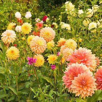 the 25 best dahlia flowers ideas on pinterest giant