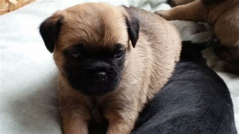 border terrier pug pug x border terrier pups only 2 left selby pets4homes