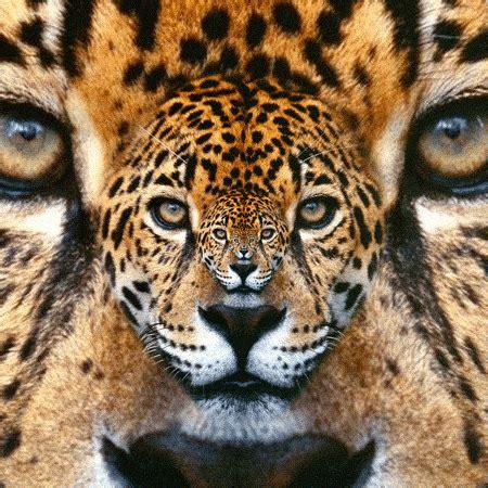 imagenes jaguar you jaguar gif tumblr