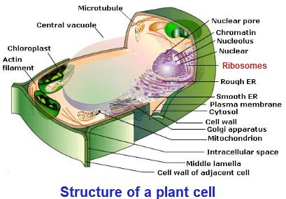 structure of animal cell and plant cell under microscope ribosomes function ribosomes structure characteristics