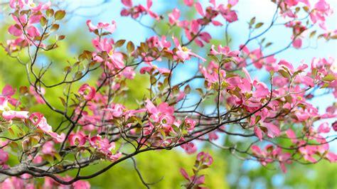 flower bloom bright branch plant hd wallpaper 1920 x 1080 wallpaper 1920x1080 tree flower bloom branch