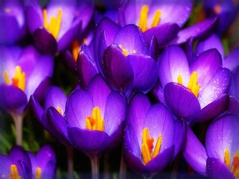 imagenes lindas bonitas fotos de flores bonitas gratis color violeta imagenes de