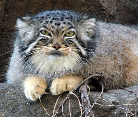 moggyblog com the pallas cat