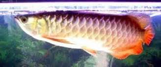 Arwana Golden 15cm fish arowana several species of arowana