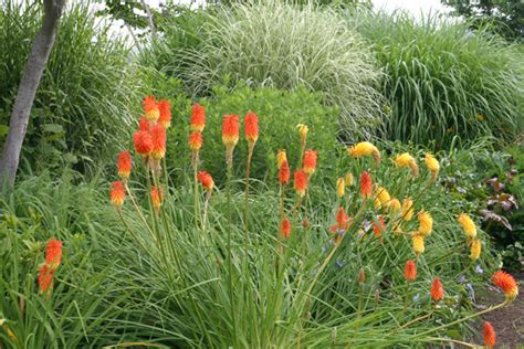 red hot pokers knofflers torch lilies also known as