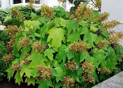 Oakleaf Hydrangea | DIY Oak Leaf Hydrangeas In Winter