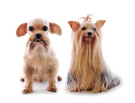 yorkie with shih tzu yorkie mix a k a shorkie ultimate home