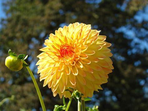 Best Seller Flower best selling orange yellow dahlia flower floral baslee photograph by baslee troutman