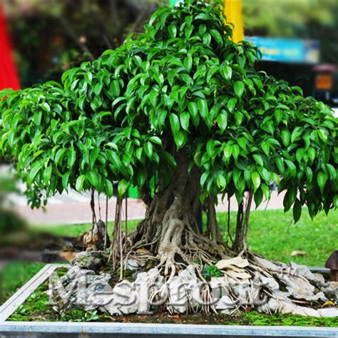 online buy wholesale ficus religiosa from china ficus religiosa wholesalers aliexpress com