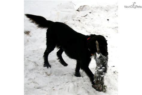 german shorthaired pointer puppies wi german shorthaired pointer puppy for sale near eau wisconsin 2571654c 8d11