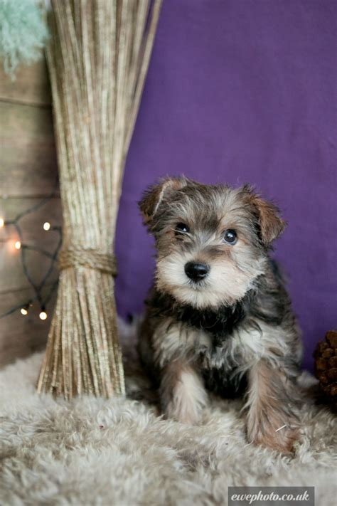 yorkie x yorkie x schnauzer puppies warrington cheshire pets4homes