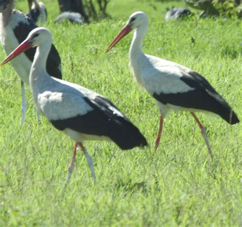 on the wing travels with the songbird migration of books white storks birds of luck land in lake elementaita