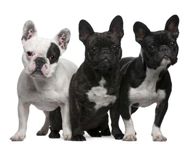breed height bulldog breed standard height photo