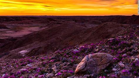super bloom anza borrego california desert s wildflower super bloom delights