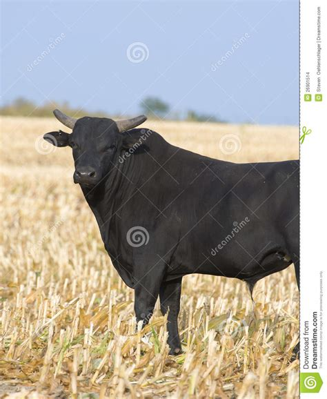 angry bull stock images image