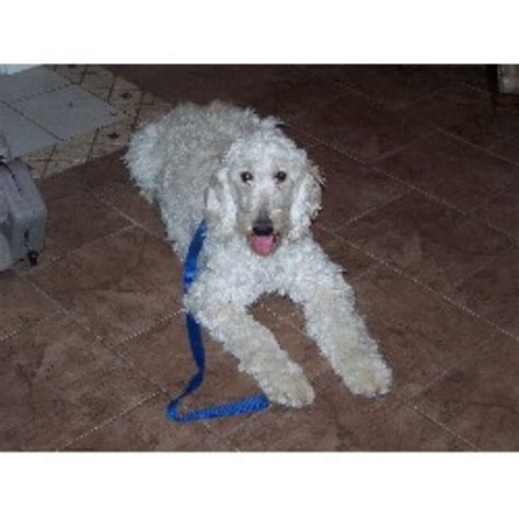 goldendoodle puppy for adoption in florida miniature goldendoodle breeders in florida breeds