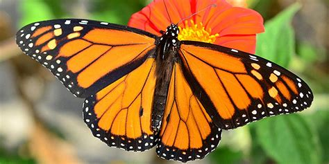 monarch butterfly monarch populations plummet 27 decrease from last year