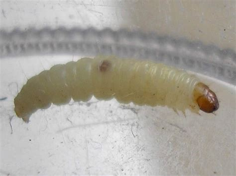 Pantry Moth Worms by Reconsidering Purina Input Junkie