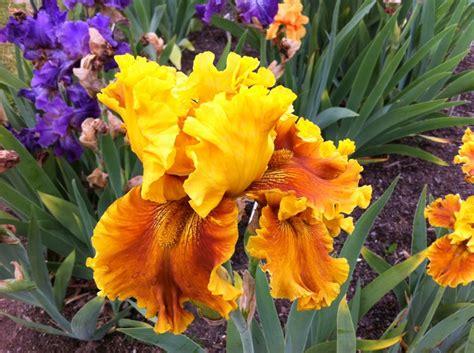 Presby Iris Garden by Presby Iris Garden Montclair Nj Gardens