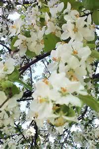 flowering shrubs ontario flowering trees of clc tree services the