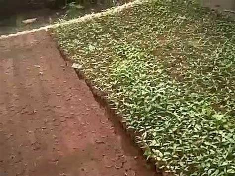 Bibit Bawang Merah Sayur budidaya terung sawi cabai tomat dan bawang merah d