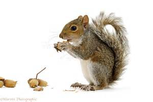 squirrel nuts related keywords amp suggestions squirrel