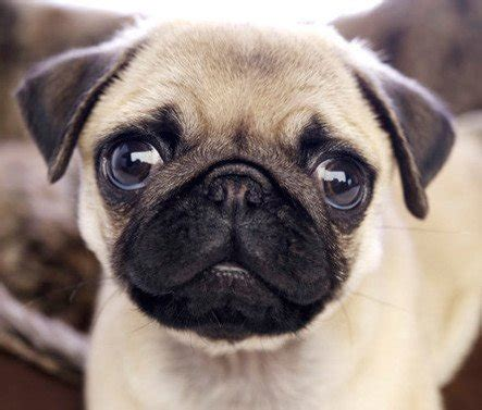what does a pug look like rich eisen show on quot does michaeldeltufo look like a pug dtfyes dtfno quot