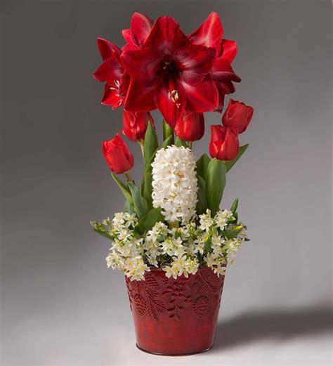 amaryllis christmas gift garden holiday bulb gardens