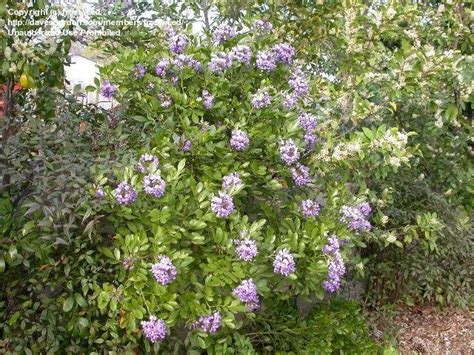 plantfiles pictures texas mountain laurel mescal bean calia secundiflora by frostweed