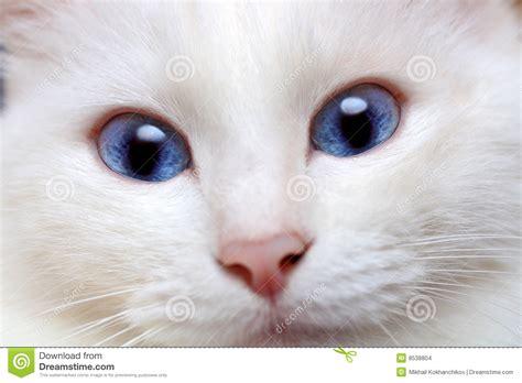 imagenes ojos blancos gato blanco con los ojos azules imagenes de archivo