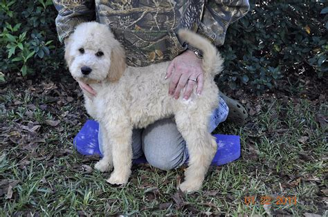 mini labradoodles houston just labs kennels home of labs and labradoodles of