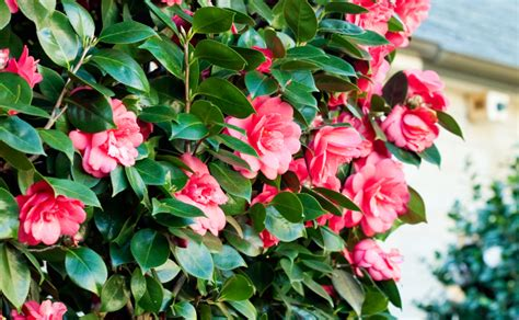 How To Select Sheets by Camellia Japonica Hedge Burke S Backyard