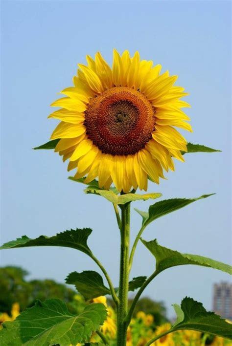 gambar bunga  tanaman hias terindah  tercantik
