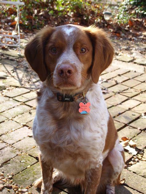spaniel puppies rescue best 25 spaniel rescue ideas on spaniel dogs