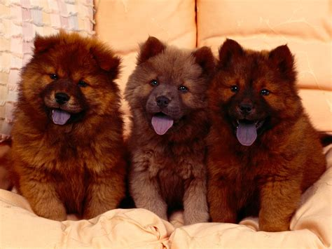 chow puppies the in world chow chow dogs