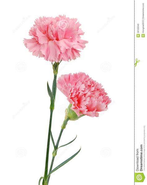 decorative pink carnation flowers stock photo image