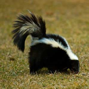 skunk in backyard skunk repellents thriftyfun