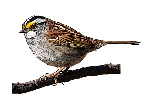 white throated sparrow national bird project canadian