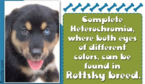 rottweiler puppies facts information about the rottweiler siberian husky mix rottsky