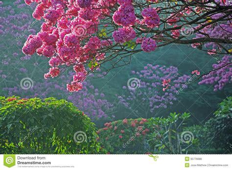 alberi con fiori rosa alberi in piena fioritura con i fiori rosa immagine stock