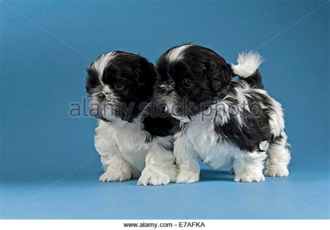 2 week shih tzu puppies shih tzu puppies stock photos shih tzu puppies stock images alamy