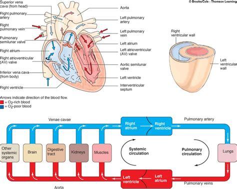blood flow through diagram blood flow diagram anatomy organ