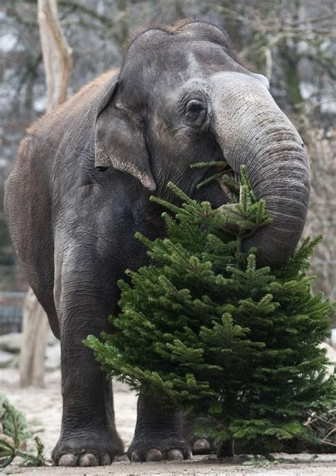 elephants munch on christmas trees at berlin zoo