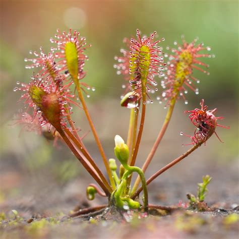 New Home Gift by Drosera Intermedia For Sale Buy Cuba Intermedia Sundew